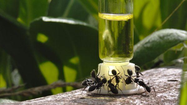 myror äter byformica nectar myrmat socker