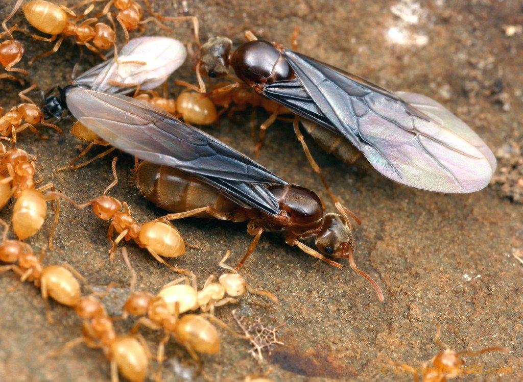 myrorna svärmar flygmyror
