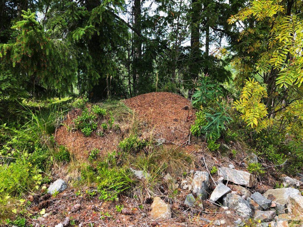 Formica rufa myrstack skog