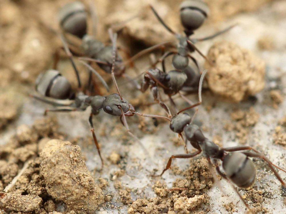 har myror inomhus