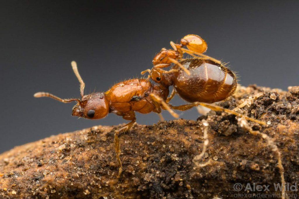 myror sociala parasiter