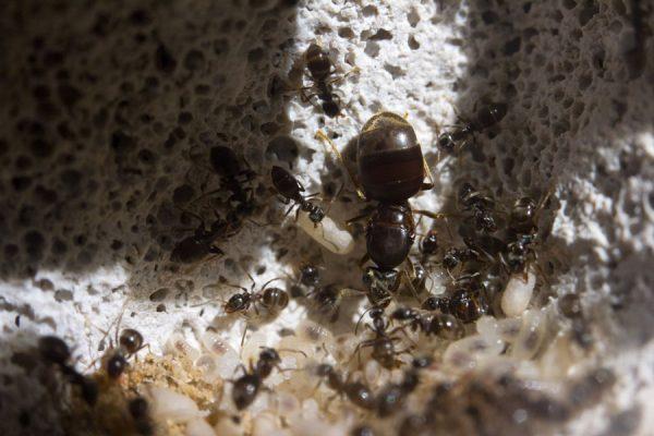 att ha myror som husdjur Lasius niger hemma