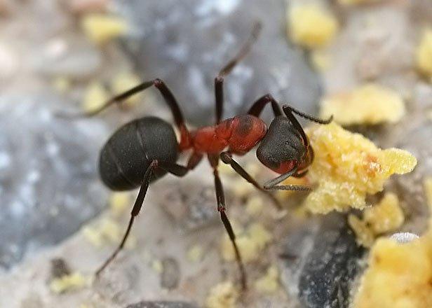 Formica rufa arbetare röd skogsmyra