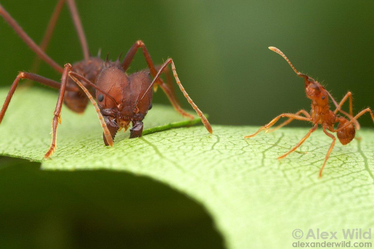 introduktion myror fakta att ha myror husdjur