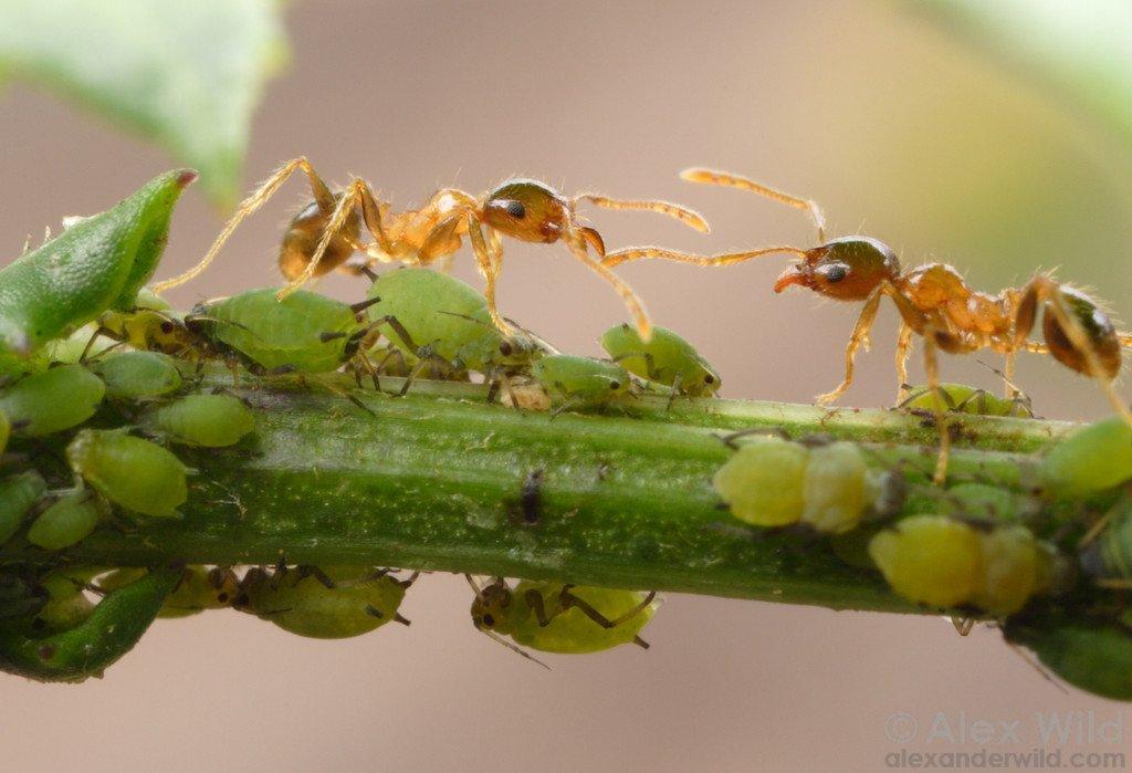 symbioser myror bladlöss