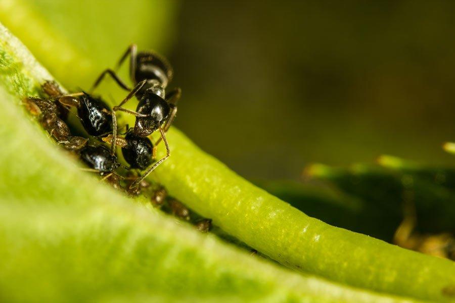 myrart Lasius niger med bladlöss bladlus