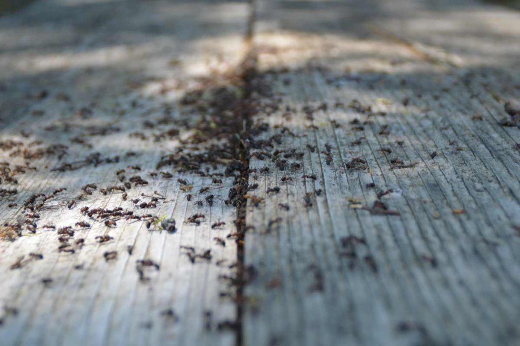 myror på trä altan