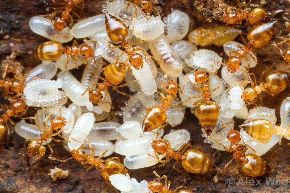 varför lever myror i kolonier myror