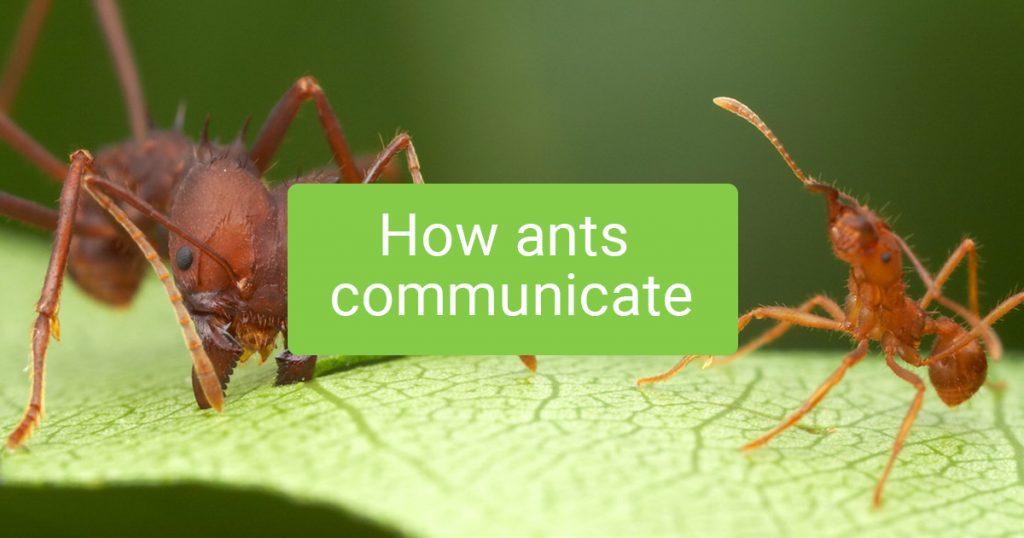 How ants communicate