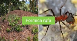 Ants Formica Rufa