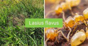 Lasius flavus fact article