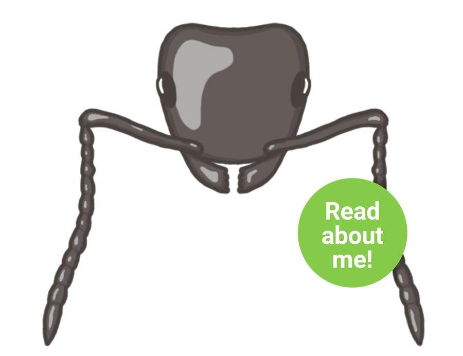 Ant Species Lasius niger