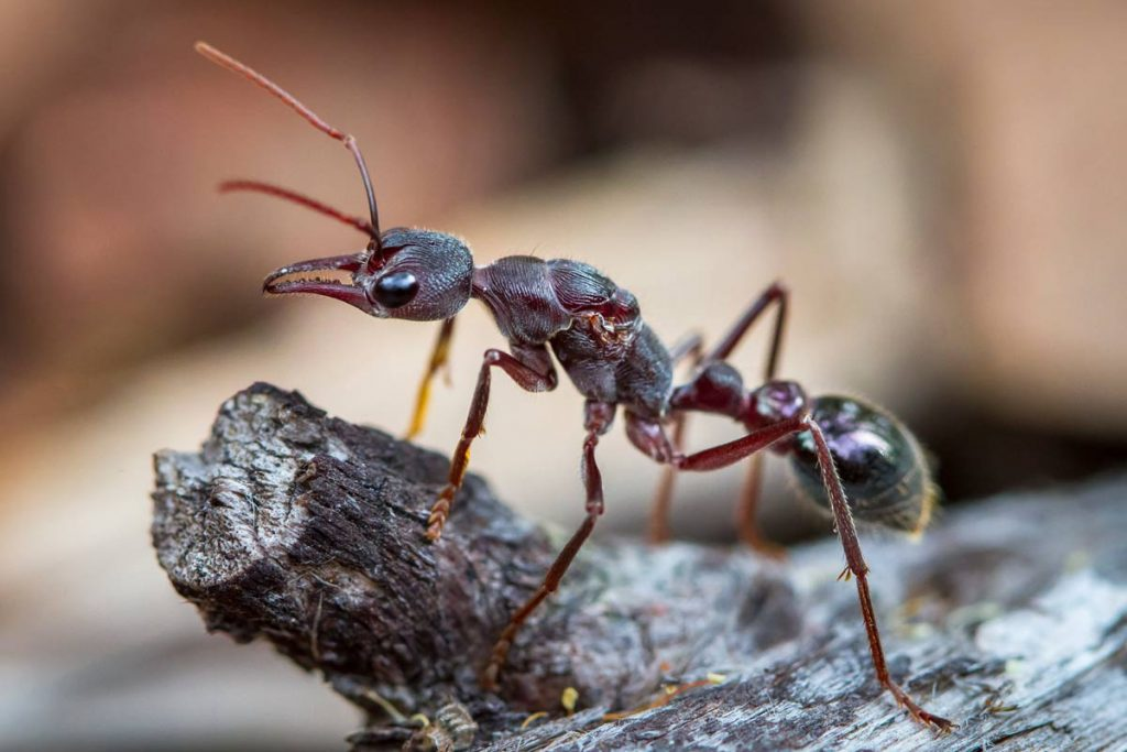 ant facts Tasmanian bull ant
