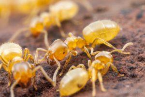 ant species Lasius flavus