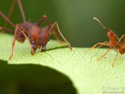alex_wild_harvesting_ants