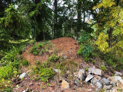 ant hill Formica rufa