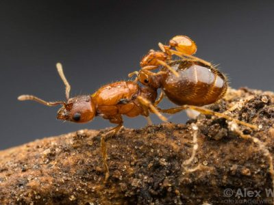 social parasites in ants