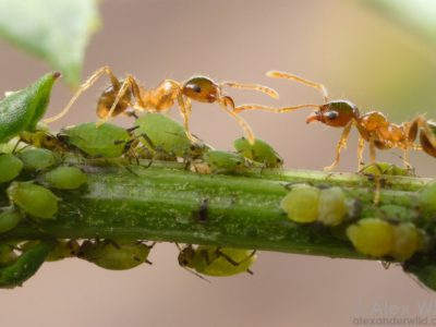 ants and aphids in symbiosis
