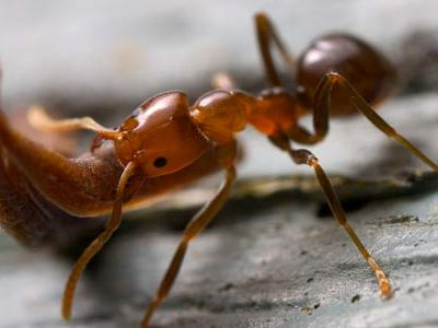 strong ant species lifting wood
